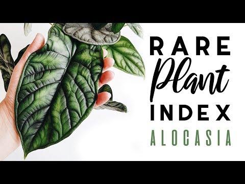 Rare Plant Index #2 | Alocasia | Uncommon to Extremely Rare Plants!