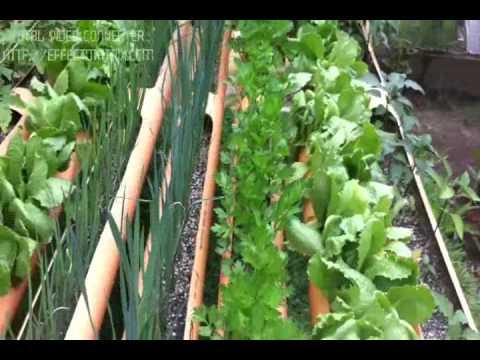 Veracruz agropecuario cultivo tilapia tvm s funnydog tv for Cria de tilapia en casa