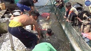BAO TRÚNG BẦY CÁ BÁN TRÊN 100 000 000 Ở KIÊN GIANG/catch fish in vietnam