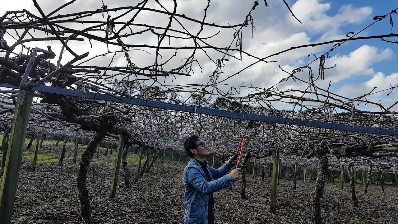 New Zealand KiwiFruit pruning - YouTube