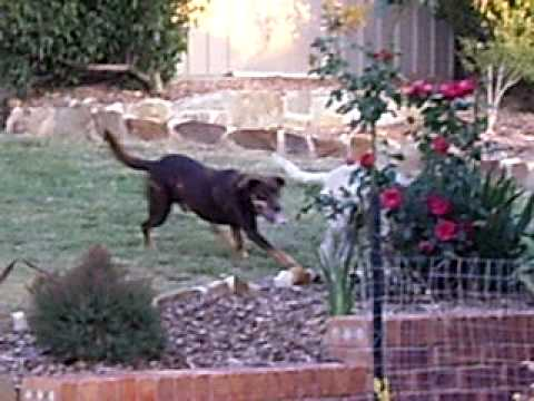 Cattle and Kelpie Dogs Playing Ball