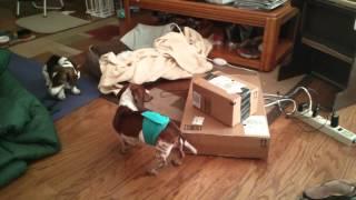 Mini Dachshund Guarding Dog Food Still In Box
