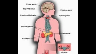 What is Endocrine System function-Major Glands of Human Body