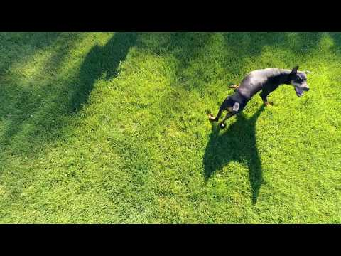 Funny and awesome Drone piloting with XStar Premium Doberman Goes Nuts