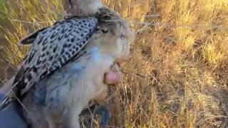 Охота на фазана с Английским фокстерьером