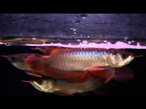 มาดูความแดงของ Super Red (Indonesian)Hi-Quality by Long Jiang Arowana Farm