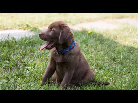 labrador , 6 facts you know about this breed