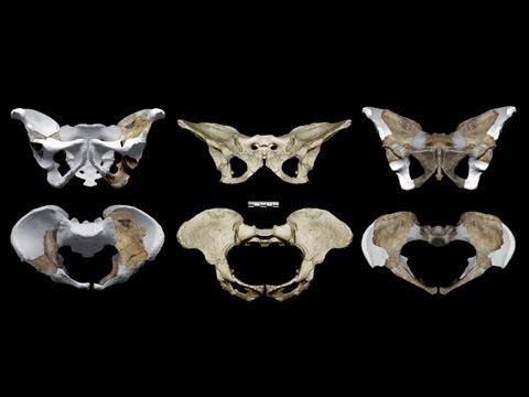 CARTA:The Upright Ape:Steven Churchill:Pelvic Architecture of Australopithecus and the genus Homo