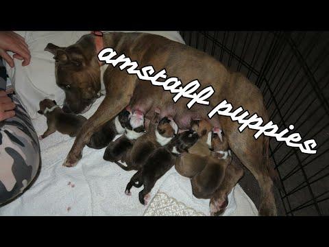 Amstaff Puppies (so Cute)