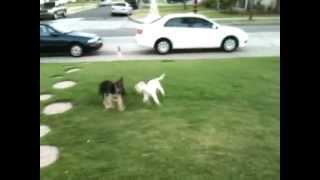 German Shepherd Puppy Vs Miniature Poodle