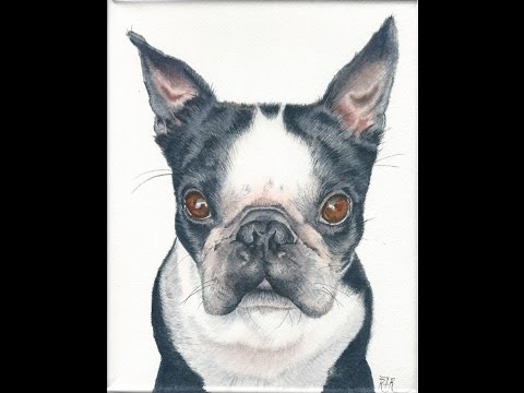 How to Paint a Realistic Boston Terrier in Watercolor