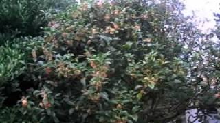 キンモクセイ(金木犀) モクセイ科モクセイ属 学 名:Osmanthus fragran...