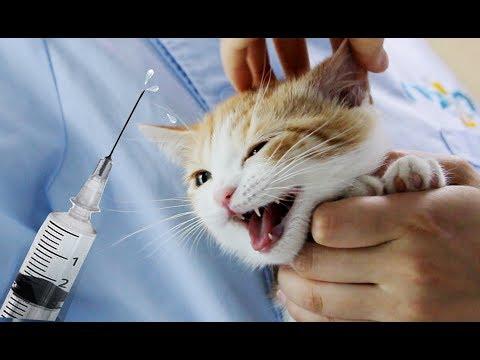 小橘猫第一次打针,嘤嘤嘤还咬人,铲屎官拿出零食瞬间乖巧!