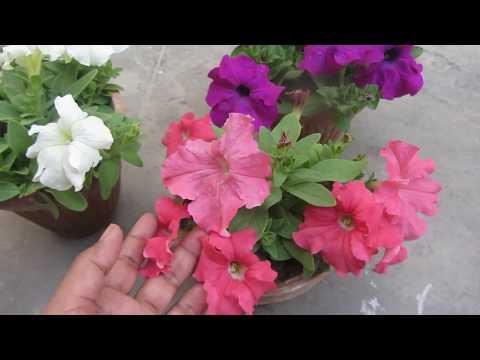 Keep Your Petunia Plants Healthy Flowering Urdu Hindi Youtube