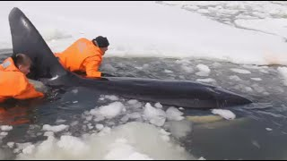 Free Willy! Rescuers save killer whales from ice in Russia