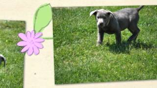 Silver Lab Puppies, Silver Labrador Puppy, Ohio Breeder