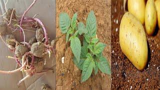 집에서 싹이난 감자를 심으면??|If you plant…