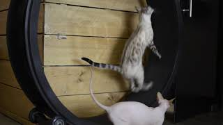 Sphynx and bengal cat on the cat wheel