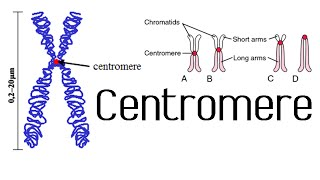 Centromere and kinetochore | chromosome structure and function