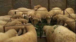 Sheep Farming (Kannada) - ಕುರಿ ಸಾಕಣೆ