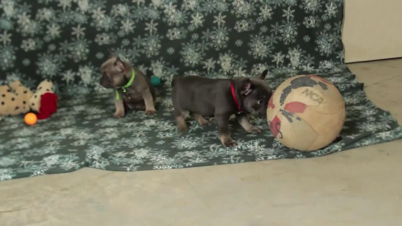 French Bulldog Puppies For Sale Daniel & Hannah Stoltzfus