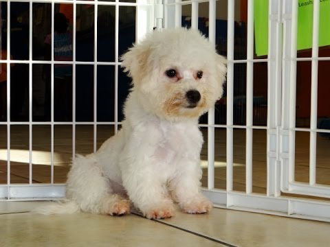 Bichon Frise, Puppies, Dogs, For Sale, In Virginia Beach, Virginia, VA,  19Breeders, Chesapeake