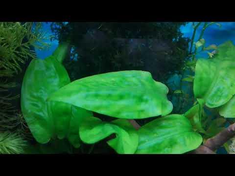Борьба с водорослями. Вьетнамка в моем 100-литровом аквариуме