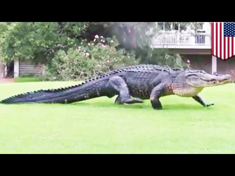 Alligator casually walking across golf course in South Carolina caught on camera - TomoNews