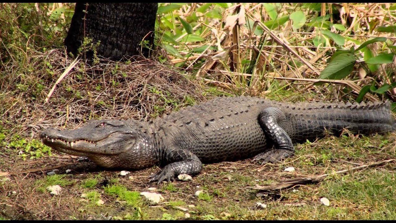 Killer Alligators In The Everglades On Uncaged Tv Youtube