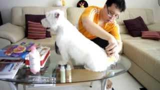 Combing Xiaobai The Westie Cross