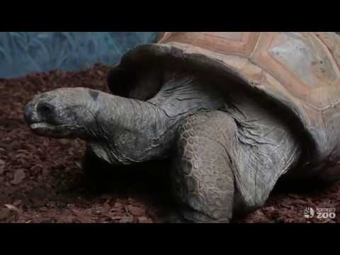 Aldabra Tortoises Return to the Toronto Zoo
