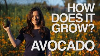 How Does it Grow? AVOCADOS | A True Food Series