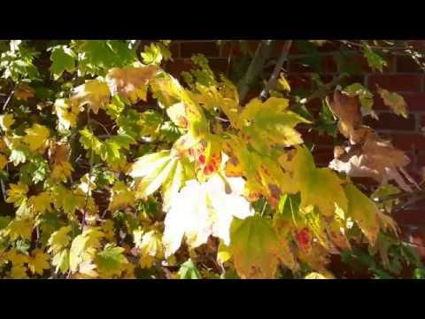Acer circinatum / Vine Maple