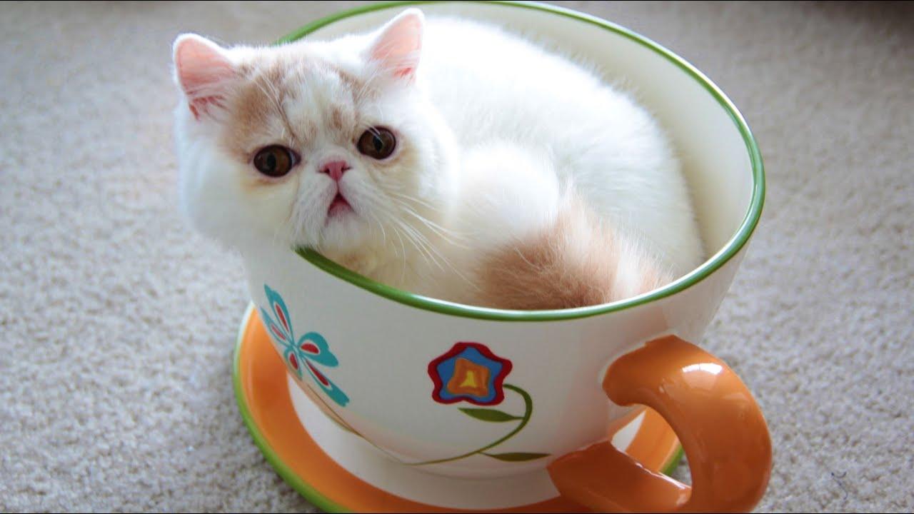 Jumbo Teacup Kitten