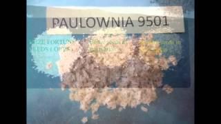 100% pure paulownia seed hybrid 9501