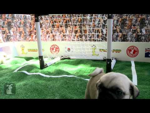 World Pup - Pugs vs. Cavalier King Charles Spaniels