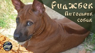 Питомник собак риджбек   Phu Quoc Ridgeback Dog Cattery   Остров Фукуок   Вьетнам