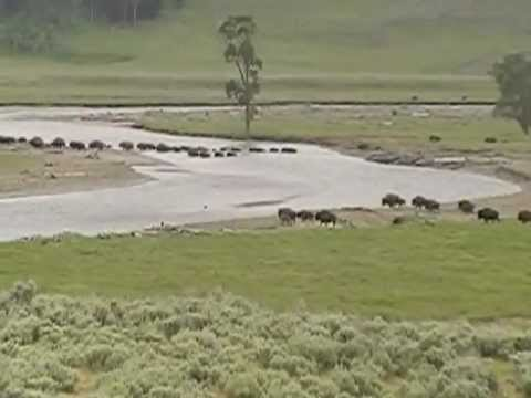 Bison (Buffalo) herd in Yellowstone National Park crossing river