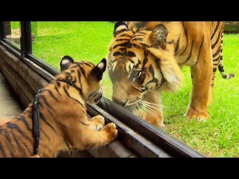 Un bébé tigre rencontre un tigre adulte pour la 1ère fois - ZAPPING SAUVAGE