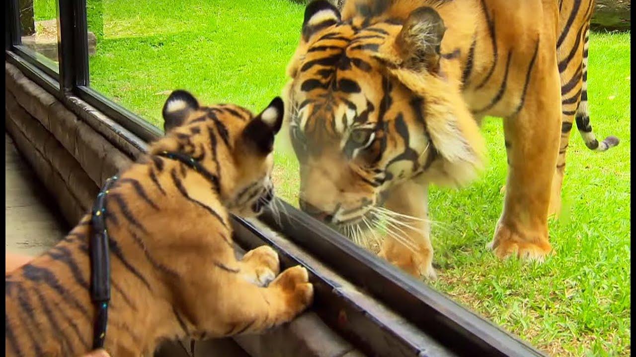 Rencontre avec tigres