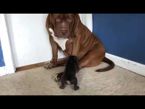 Giant family pit bull HULK meets rarest colored pit bull puppy on earth 👀 SOOO CUTE!!💕