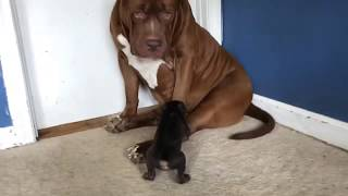 giant-family-pit-bull-hulk-meets-rarest-colored-pit-bull-puppy-on-earth-sooo-cute