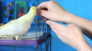 How to Get a Cockatiel Out of the Cage : Bird Care & Training