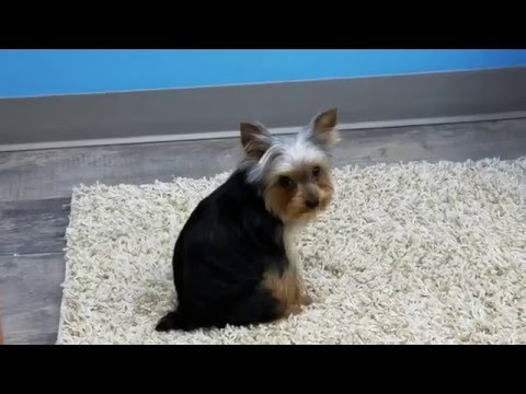 Cutest Morkie Puppy EVER Gets Her First Haircut