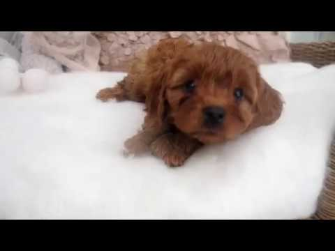 Chloe's Toy Cavoodle Girl 7406 - Pocket Puppies