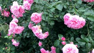 Приглашаю на прогулку в цветущий сад роз. Подмосковье, июль 2020