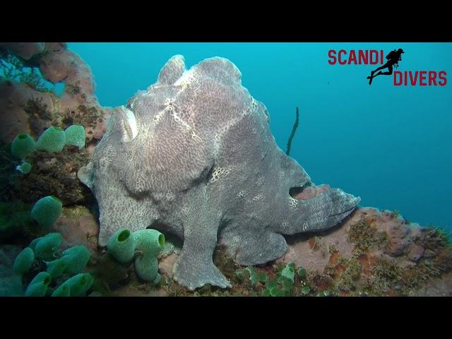 Scandi Divers resort - Frog Fish of Puerto Galera