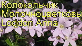 Колокольчик молочноцветковый Лоддон Энна. Краткий обзор, описание campanula lactiflora Loddon Anna