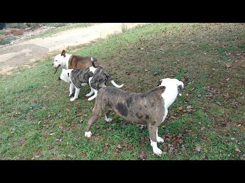 Alapaha Blue Blood Bulldogs  fighting over stick