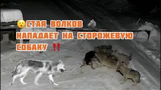 Нападение стаи Волков на сторожевую собаку Слабонервным не смотреть 2021
